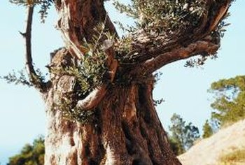 Olive trees can survive years of neglect if provided with the appropriate growing conditions.