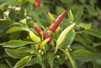 Start pepper seeds in early spring for a summer harvest.