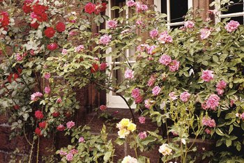 Heirloom roses or single-blooming roses tolerate full sun and partial shade.