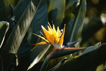 The bird-like flowers of a bird of paradise plant.