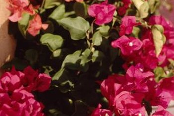 Bougainvilleas range in color from orange to bright pink.