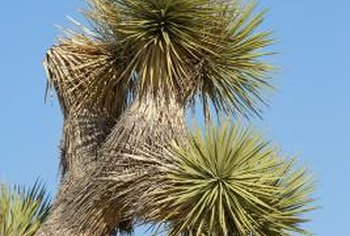 Some yuccas become tall, branching plants.