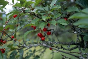The beautiful cherry tree is susceptible to summer heat burn.