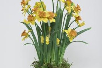Potted daffodils provide a portable splash of color while they're in bloom.