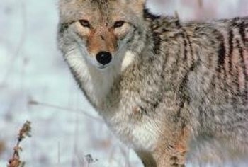 Coyotes love watermelons and can eat several in one night.