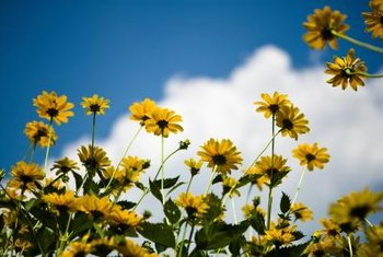 Blooming sunflowers are unlikely to root.
