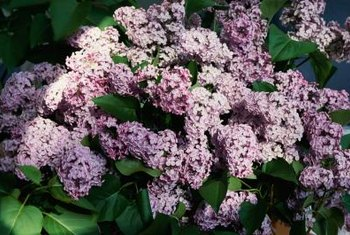 Fragrant common lilacs come in lavender, pink, purple and white flower colors.