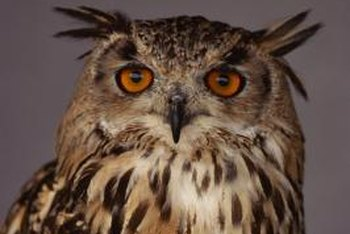 Owls are almost always nocturnal birds.