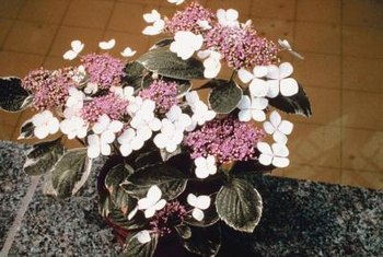 White margins accent the leaves of variegated hydrangeas.