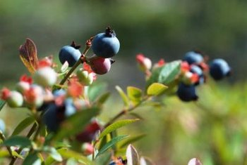 Huckleberries resemble blueberries.
