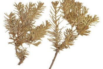 Leyland cypress is susceptible to pests and diseases that damage its needles.