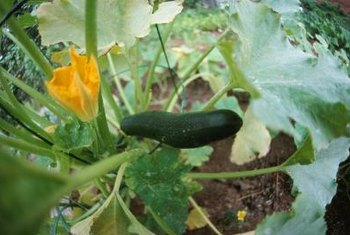 Zucchini plants require only a little pruning.