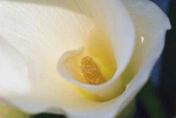 Typically pure white, some calla lilies have pink throats.