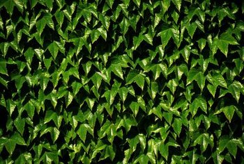 Virginia creeper uses pads instead of roots to cling to walls and the ground.