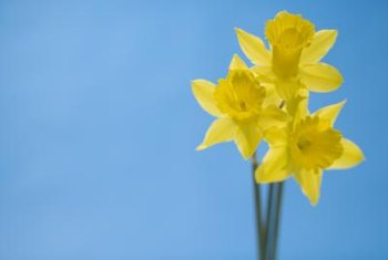 Daffodils produce a soft sweet or spicy fragrance.