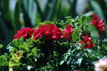 Fancy leaf geraniums grow well in plant pots, window boxes and flower beds.