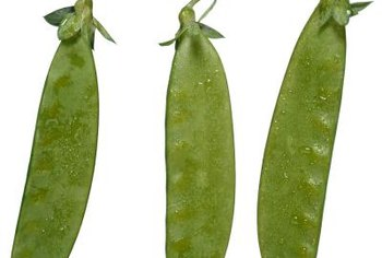Snow peas are ready when the pod is still flat, before the peas mature.