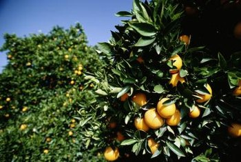 Citrus trees need full sun to produce fruit.