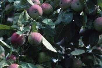 Some varieties of apple tree are resistant to scab.
