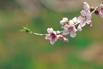 Flowering cherries have a short life span of 15 to 25 years.