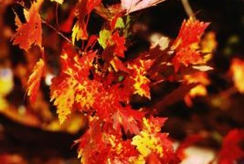Maple trees do have flowers, but they are small and not showy.