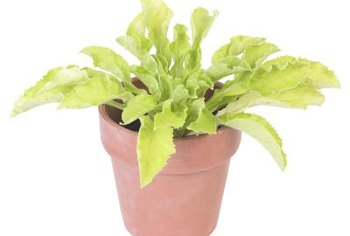 Leaf lettuce grows well in small containers.