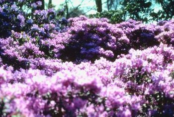 Azaleas thrive in U.S. Department of Agriculture plant hardiness zones 5 through 9.