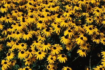 Black-eyed Susans are sunflower look-alikes.