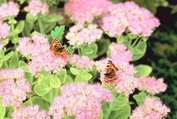 Newly opened flowers of autumn-flowering sedum are pale pink.