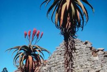 Aloes grow in a variety of climates, including desert, grassland and coastal.