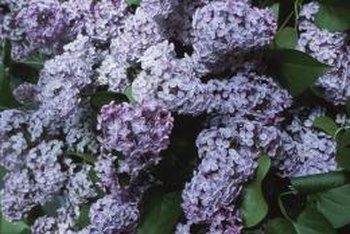 Fragrant lilac blossoms are commonly cut and used in floral arrangements.