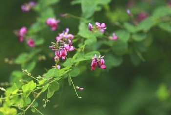 Though the flowers are colorful, lespedeza is an invasive weed.