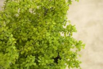 A healthy delta maidenhair fern growing indoors.