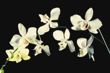 Moth orchids will rebloom, providing many months of floral interest.