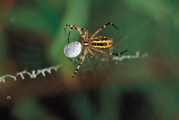 Spiders make webs to trap insects, not to get in your hair.