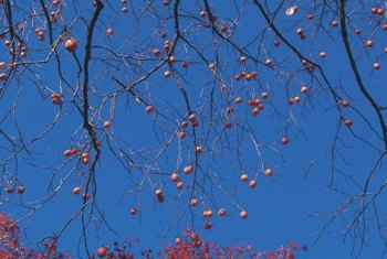 Do most of your pruning to train the persimmon in winter.