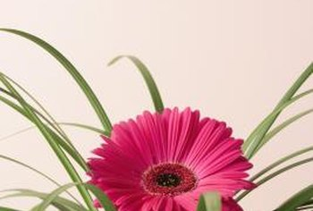 Gerbera daisy flowers can be pink, orange, yellow, red or white.