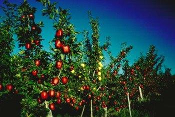 Most fruit trees are grafted to a single compatible rootstock.