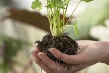 Thinning seedlings allows proper spacing in the soil for good root growth.