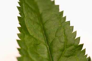 Avoid eating stinging nettles in the fall, when the leaves develop toxic compounds.