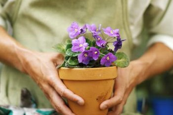 """Concord Blue"" cape primrose stems have a trailing habit that works well in containers."