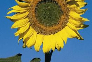 It may look like a summer flower, but sunflowers pop out in early spring.