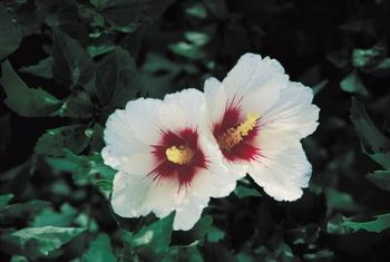 Rose of Sharon blooms may be white, pink, red or purple.