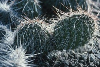 Weeding around a cactus requires care because of the spines.