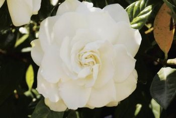 Gardenias' lush white blooms deepen to rich gold as they age.