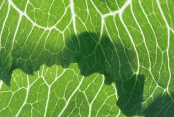 Cabbage leaves are rich in vitamins C and K.