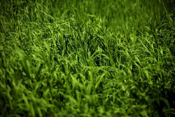 Power seeding a lawn can be done over existing grass.