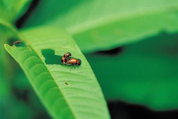 Beetles feast on the leaves of ornamental plants.