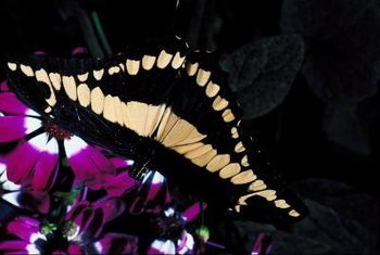 The giant swallowtail is one of the largest North American butterflies.