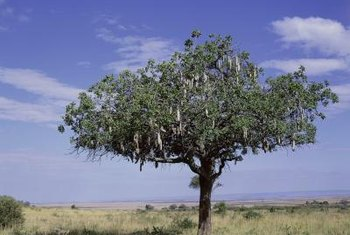 Many acacia trees have sharp thorns.